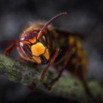 Waarom professionele wespenbestrijding?